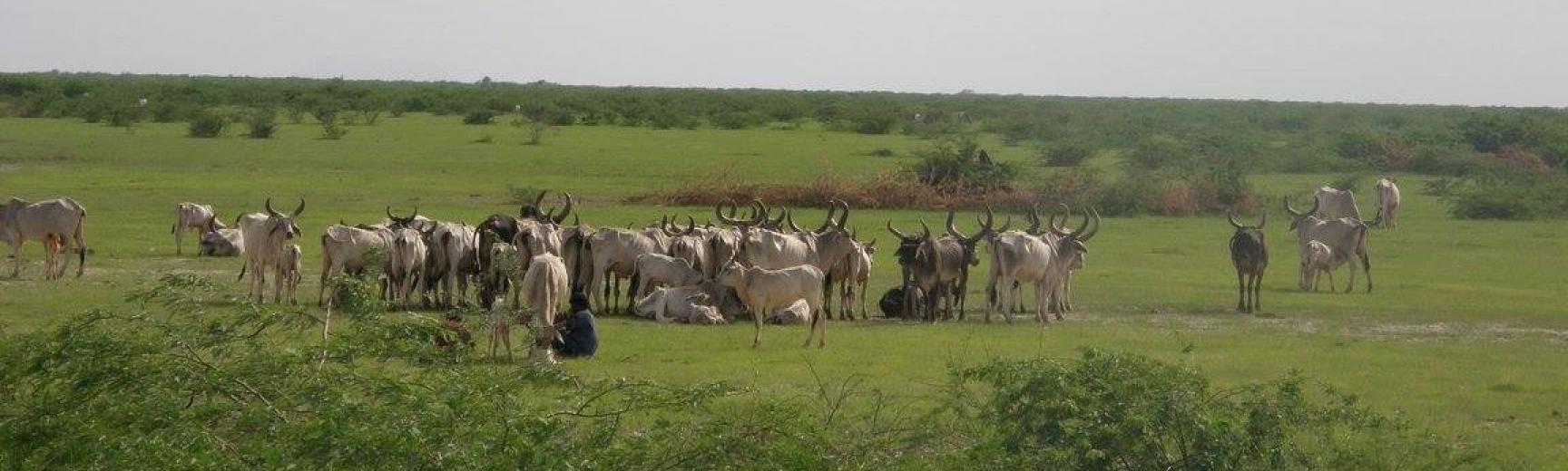 cows graze on grassland in western india